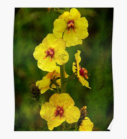 Moth Mullein Poster