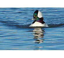 Bufflehead Lake Atlanta Rogers, Arkansas Photographic Print
