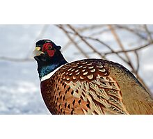Curious Pheasant Photographic Print