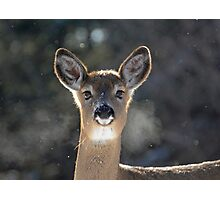 White Tailed Deer 2 Photographic Print