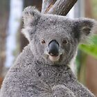 Koala Bear 2 by Gotcha29
