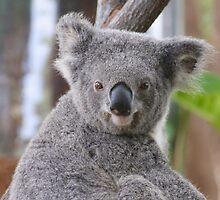 Koala Bear 2 by Gotcha29