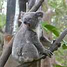 Koala Bear 4 by Gotcha29