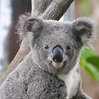 Koala Bear 7 by Gotcha29