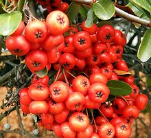 Red Holly Berries by Sandra  Aguirre