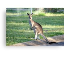 Kangaroo 1 Canvas Print