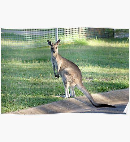 Kangaroo 1 Poster