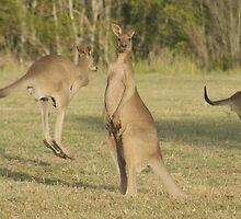 Kangaroo 2 by Gotcha29