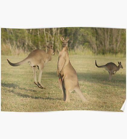 Kangaroo 2 Poster