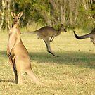 Kangaroo 3 by Gotcha29