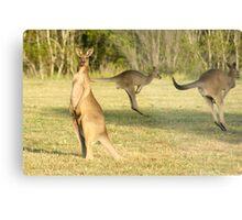 Kangaroo 3 Metal Print
