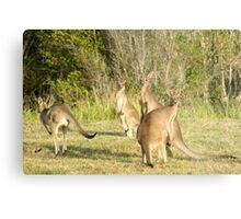 Kangaroo 5 Metal Print