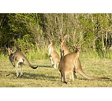 Kangaroo 5 Photographic Print
