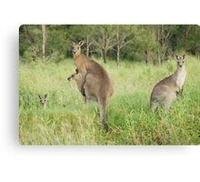Kangaroos 6 Canvas Print