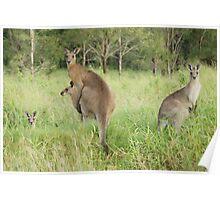 Kangaroos 6 Poster