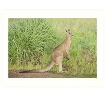 Kangaroos 7 Art Print
