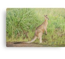 Kangaroos 7 Canvas Print
