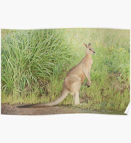 Kangaroos 7 Poster