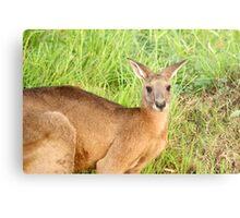 Kangaroo 8 Metal Print