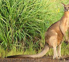 Kangaroo 9 by Gotcha29