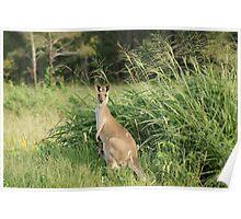 Kangaroo 10 Poster