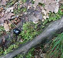 Dung beetle by Natas