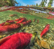 Upstream - Salmon run by Wolfgang Zwicknagl Photography