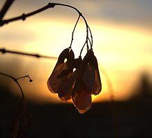 Sunrise Maple Seed by Kathi Arnell