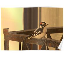 Downy Woodpecker 1 Poster