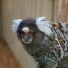 Pygmy Marmoset by Derwent-01