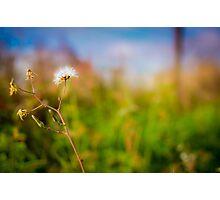 Dandelion in field Photographic Print