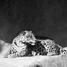 Leopard In Black and White by WildestArt