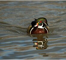 Wood Duck - Aix sponsa Photographic Print