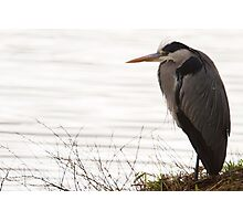 Grey Heron - Ardea cinerea Photographic Print