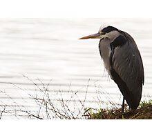 Grey Heron - Ardea cinerea Photographic Print