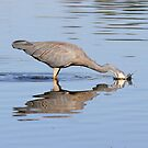 White Face Heron  playing with reflection by Kym Bradley