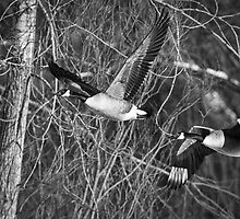Flying Geese in Black and White by Thomas Young