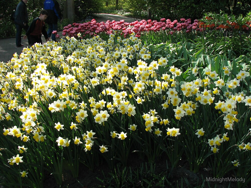 Keukenhof Daffodils by MidnightMelody