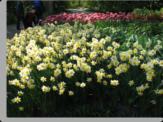 Keukenhof Daffodils by MidnightMelody