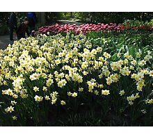 Keukenhof Daffodils Photographic Print
