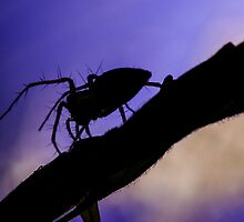 Lynx Spider Silhouette by Dave van der Wal