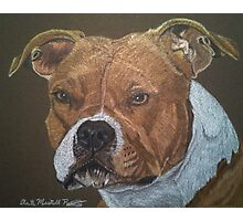 American Pit Bull Terrier Photographic Print