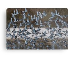 Black-tailed Godwit Metal Print