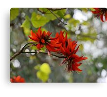 Flame Trees Herald Spring Canvas Print