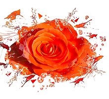 Orange Rose by mhfore