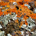 Yan Yean Lichen #1 by Frederick James Norman