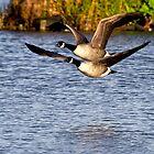 Canada Geese in flight by Violaman