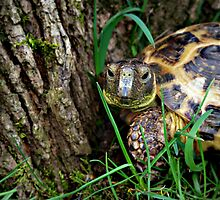 Portrait of a Tortoise   by Skymall007