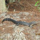 American Alligator by Eric Sanford
