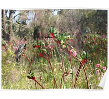 Kangaroo Paws - Wireless Hill Poster